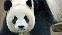 The Toronto Zoo Could Have Panda TWINS Within