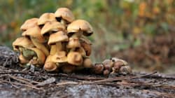 Deadly Mushrooms, Not Poisoning, To Blame For Dog