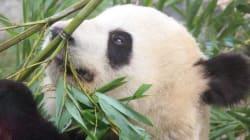 La femelle panda du Zoo de Toronto enceinte de deux