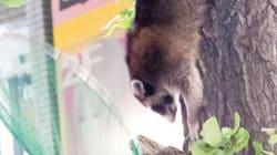アライグマを捕獲、秋葉原の電気街になぜ? 警官ら3人負傷(動画・画像)
