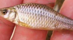 Ce petit poisson qui menace nos