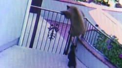 Un bulldog francés consigue ahuyentar a dos osos que querían entrar en su