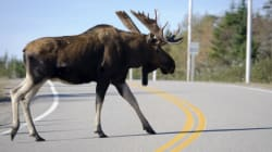 Cops: Driver Probably Ran Into Moose While Looking At Driver Who Hit