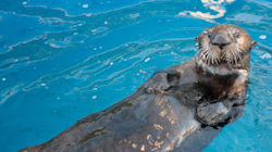 Corky The Sea Otter Dies After Landmark Operation In
