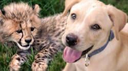 Ce petit guépard et ce chiot sont