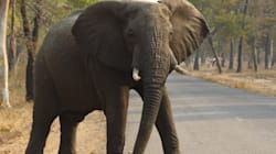 Extra Elephant Cancer-Fighting Genes Could Help