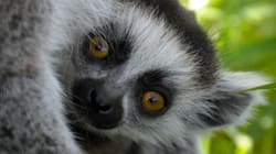 Baby Ring-Tailed Lemur Hides On Mum's Belly, Is All-Round
