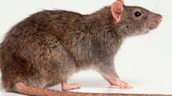 Le rat, ce voisin mal-aimé et méconnu des