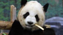 Un des pandas prêtés par la Chine donne naissance à deux