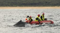 Humpback Whale Pictured Being Freed From Rope On NSW South
