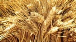 La séquence du plus grand des chromosomes du blé tendre