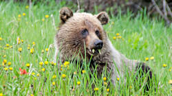 Alberta's Grizzly Population Is On The