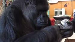 Ce gorille a eu le plus adorable des cadeaux pour son anniversaire