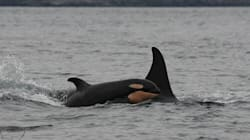 Baby Killer Whales GALORE On The West