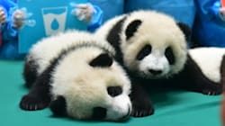 Baby Panda Kindergarten Is A Thing, And It's The