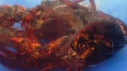 La mue d'un homard, impressionnant!