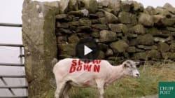 Ecco come pecore e mucche possono esserti utili mentre guidi, invece di