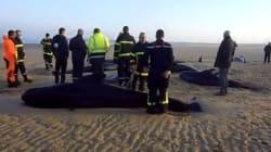 Un troupeau de 10 baleines s'échoue à