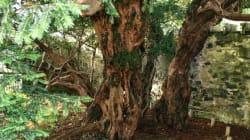 Le plus vieil arbre du Royaume-Uni est en train de