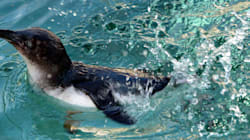 Melbourne Zoo Keepers 'Devastated' As 14 Penguins Found