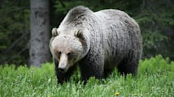 Grizzly Bear Eats Grizzly Bear In Banff National