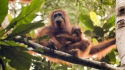 Why The Survival Of Orangutans Is Vital To The Future Of Our