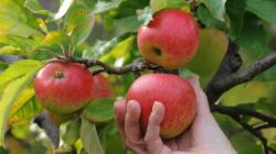 Planter des arbres fruitiers pour rendre la ville