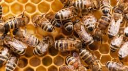 Des abeilles pour traiter
