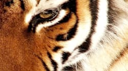 Tiger Clubbed To Death By Villagers In