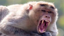 Si les singes parlaient, voici à quoi ressemblerait leur