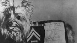 Tiny, Brave War Hero Nicknamed Yorkie Doodle Dandy Honoured With