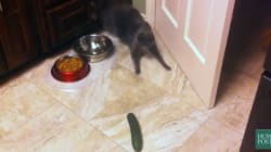 Chat vs concombre, l'ultime compilation