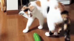 Cats Freaking Out Over Cucumbers Is Required