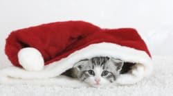 Clumsy Cat's Christmas Calamity Captured In Heartwarming Viral