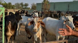 Bombay HC To Hear Petitions Challenging Beef Ban In The State From 5