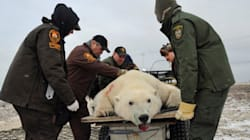 Polar Bear Wrangler Job Getting Harder, Thanks To Climate
