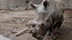 Muore Nola, uno dei 4 rinoceronti bianchi del nord