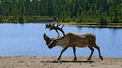 The Boreal Caribou Recovery Plan Will Cut Forestry