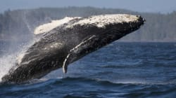 Humpback Whales Making A Comeback In
