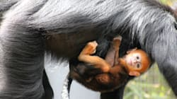 Gingers Can Be Cute: Rare, Adorable Monkey Is Born At Taronga