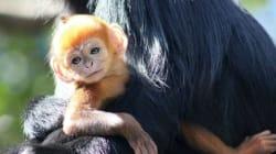 Un adorable petit singe roux et