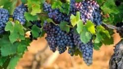 Les raisins de la colère: les vignerons québécois laissés à