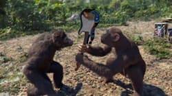 Découvrez les aventures simiesques de