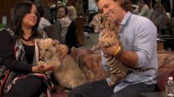 Un bébé tigre et un lionceau : un bazar
