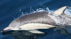 Dolphin Species Spotted Alive In B.C. For 1st