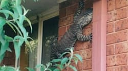 This Giant Goanna Was Sprung Just Chilling On Side Of A
