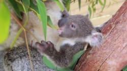 Ce bébé koala sort pour la première fois de la poche de sa mère