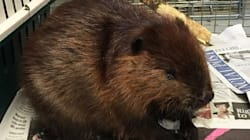 Sick Beaver Hitches A Ride, Because