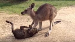 Ce kangourou est beaucoup trop gentil pour être ami avec ce
