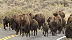 Massive Herd Of Bison On The Loose In